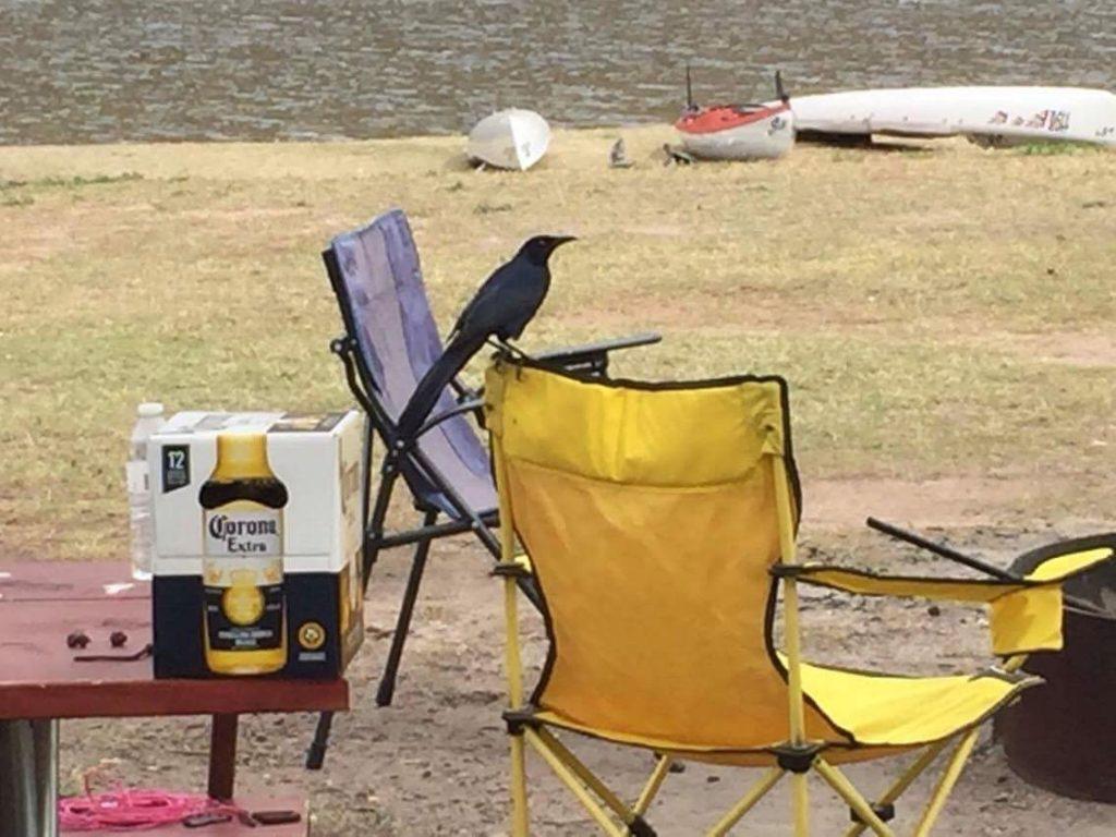 Black bird and a Corona box.
