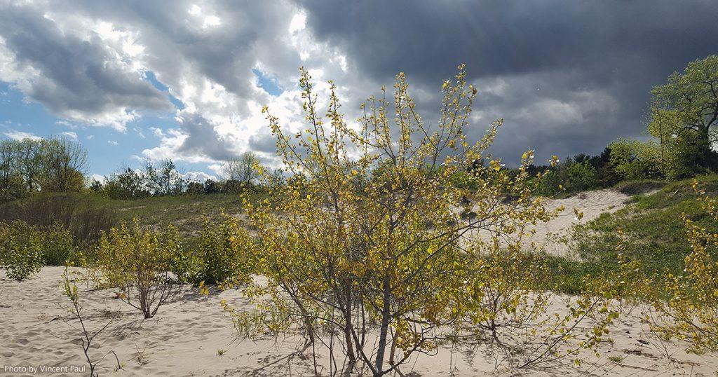 Shrubs on the beach of Kohler-Andrae State Park.