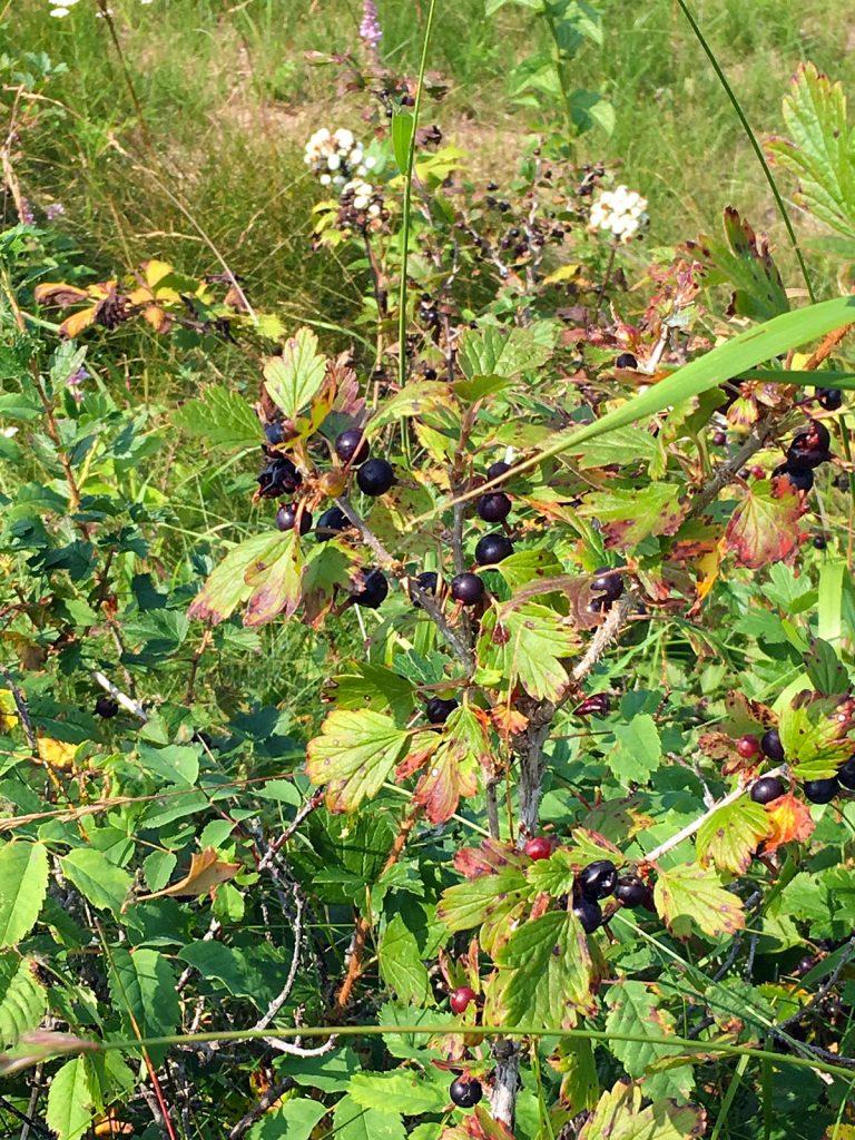 Mystery Berries in Ontario, Canada.